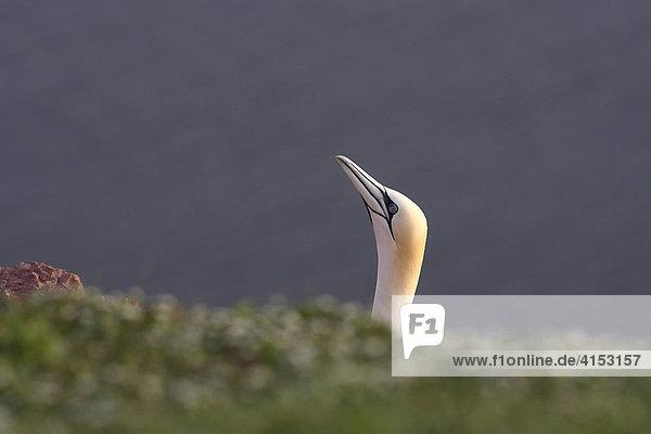 Basstölpel ( Morus bassanus Sula bassana )