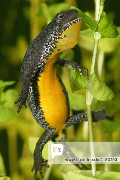 Bergmolch (Triturus alpestris)  Weibchen bei der Nahrungsaufnahme
