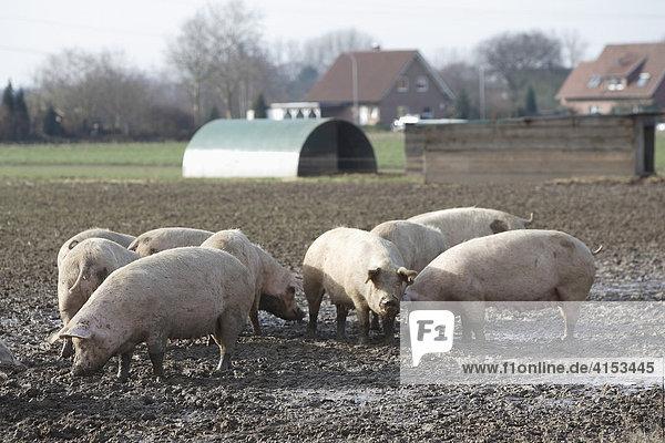 Freilandschweine  Petershagen  Nordrhein-Westfalen  Deutschland