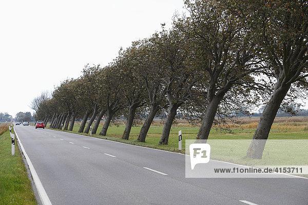 Durch den Wind Schief gewachsene Bäume an einer Landstrasse  Mecklenburg-Vorpommern  Deutschland