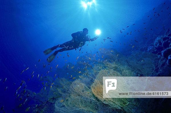 Diver swimming above a Gorgonia (Scleraxonia)  Australia