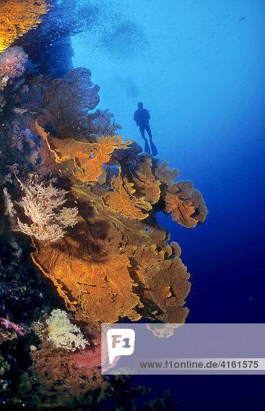 Taucher an einer Steilwand mit Korallen  Philippinen