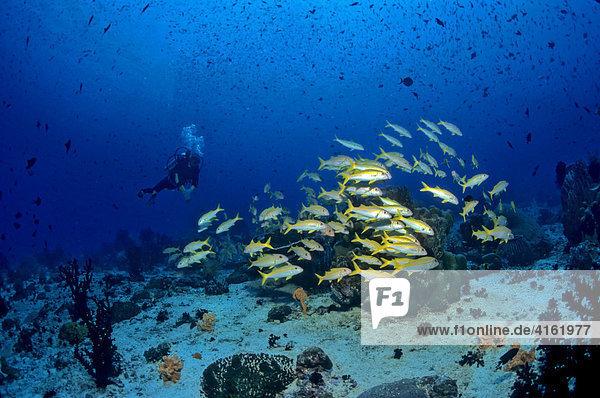 Taucher im Fischschwarm  BARBE MULLOIDICHTHS MARTINICUS  Asien  Philippinen  Sulu See.