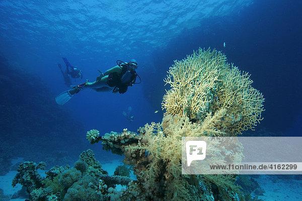 Taucher schwimmt hinter einer grossen Feuerkoralle  Millepora tenella  Ägypten  Rotes Meer.