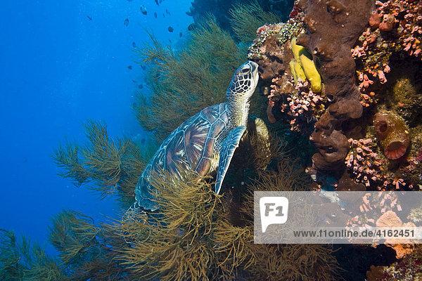 Karett-Schildkröte  Eretomochelys imbricata.