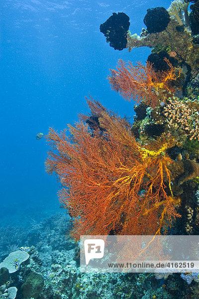 Korallenriff  Indonesien.