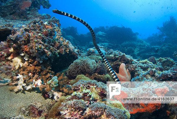 Gebänderte Gelblippen-Seeschlange  Laticauda colubrina  Philippinen.