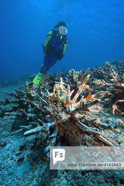 Korallenriff Schutzprogramm auf Indonesien im Marine National Park Bunaken. Neue Korallenriffe sollen durch speziell dafür vorgesehene künstliche Betonsteine entstehen. Nordsulawesi  Indonesien.