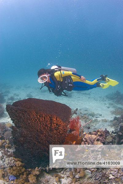 Taucher und ein Fassschwamm  Grosser Vasenschwamm (Xestospongia testudinaria)  Indonesien  Asien