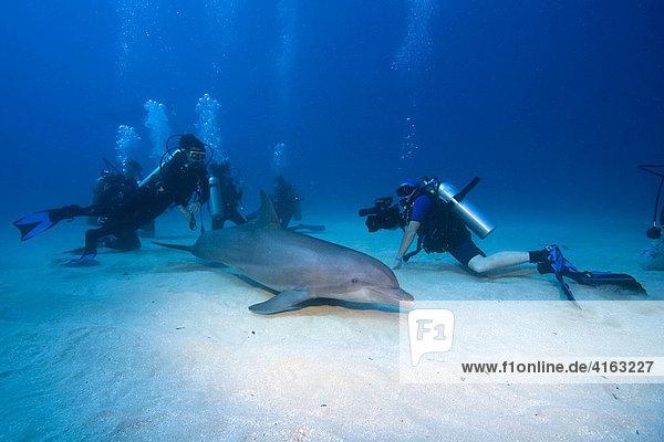 Tame Bottlenose Dolphin (Tursiops truncatus) and scuba divers on the ocean floor  tourist attraction  Roatan  Honduras  Caribbean