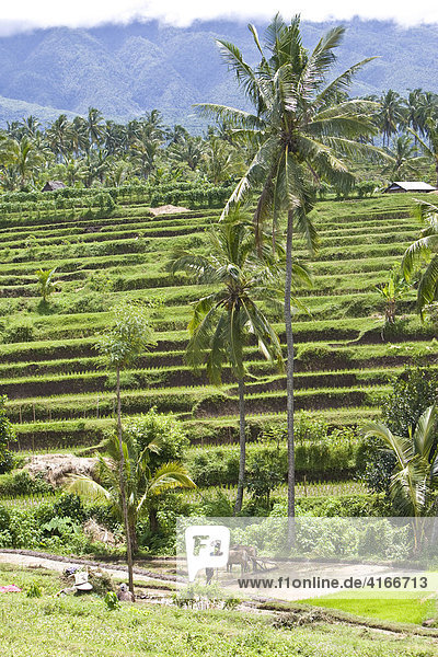 Farmer cultivating his rice field with an ox  rice terraces at back  Lombok Island  Lesser Sunda Islands  Indonesia  Asia