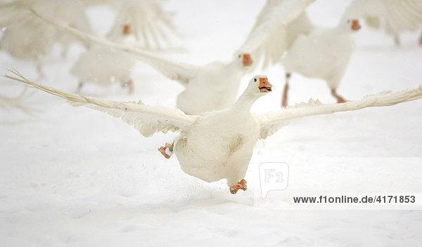 Hausgänse (Anser anser f. domestica) im Schnee beim Start