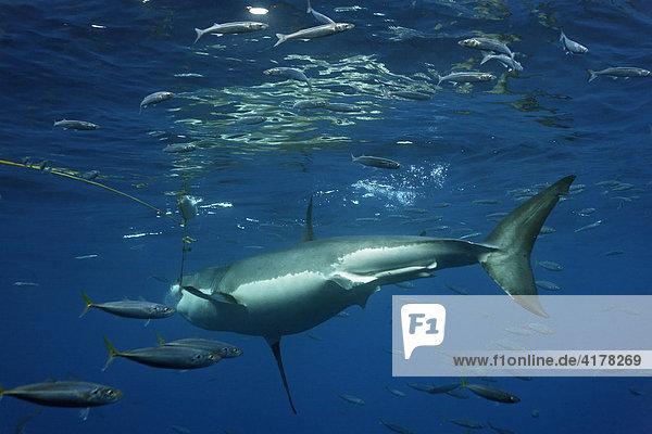 Weißer Hai (Carcharodon carcharias)  Insel Guadalupe  Mexiko  Pazifik  Nordamerika