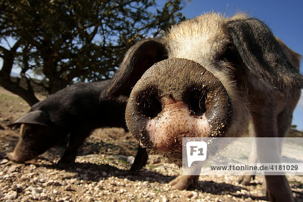 Neugieriges Schwein auf Sardinien  Italien  Europa
