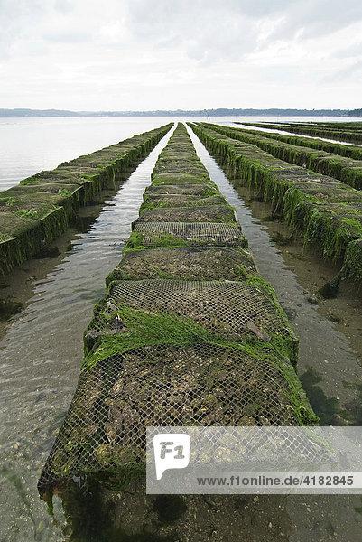 Austernbänke in der Bucht von Morlaix  Bretagne  Frankreich
