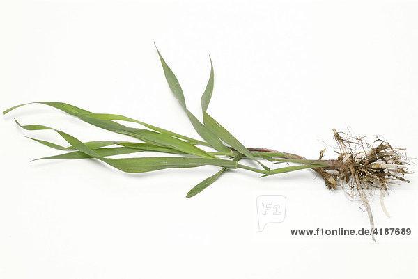 Queckenwurzel  Quecke (Elymus repens)  Heilpflanze