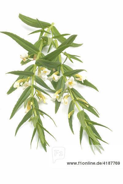 Heilpflanze Gottesgnadenkraut  Gnadenkraut (Gratiola officinalis)
