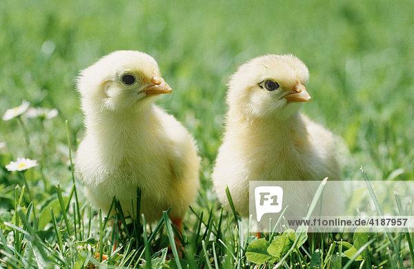 Hühnerküken Hühnerküken