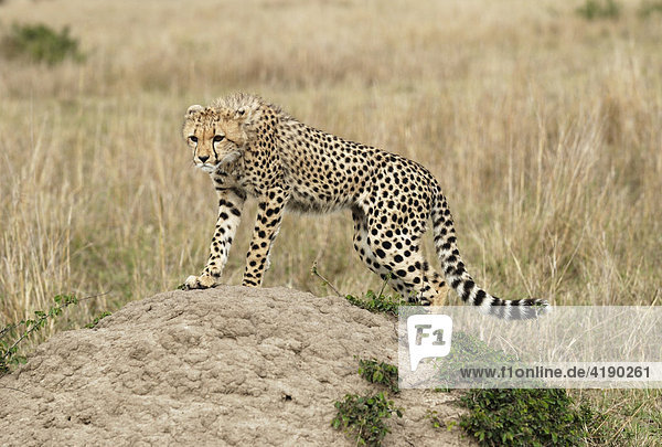 Junger Gepard (Acinonyx jubatus) beim beobachten der Umgebung Masai Mara Kenia Afrika