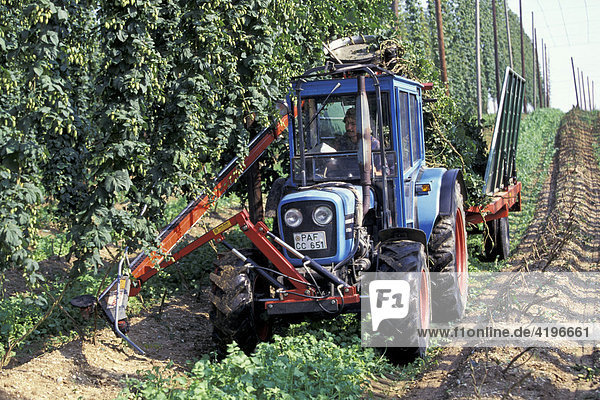 Landwirt bei Hopfenernte Hallertau Bayern Deutschland