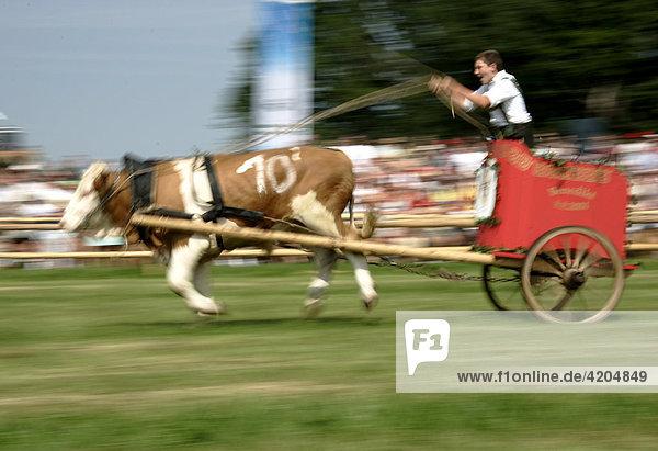 Erstes Bichler Ochsenrennen am 8.8.2004 in Bichl  Oberbayern  Deutschland Erstes Bichler Ochsenrennen am 8.8.2004 in Bichl, Oberbayern, Deutschland