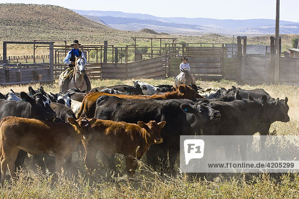 Cowgirl and cowboy with cattle  Oregon  USA
