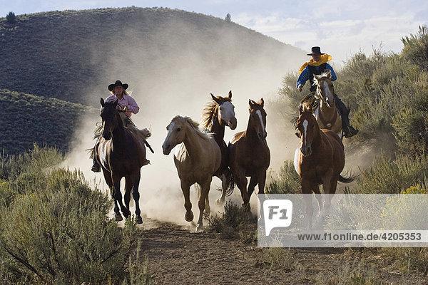 Cowgirl und Cowboy treiben Pferde  Oregon  USA