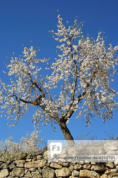 Almond tree Prunus amygdalus