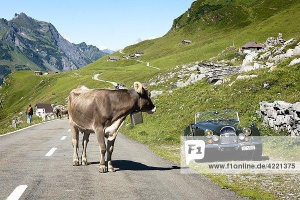 Kuh auf der Straße  Klausenpass  Kanton Glarus  Kanton Uri  Schweiz Kuh auf der Straße, Klausenpass, Kanton Glarus, Kanton Uri, Schweiz
