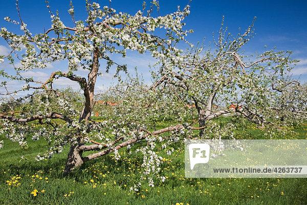 Apfelblüte auf Bäumen im Feld