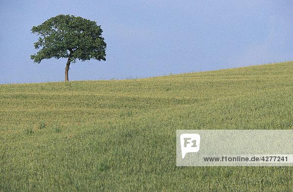 Italien  Toskana  Maremma Weizenfeld