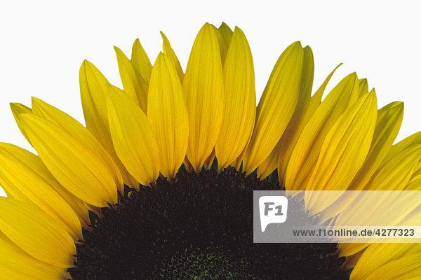 Close up of eine Sonnenblume