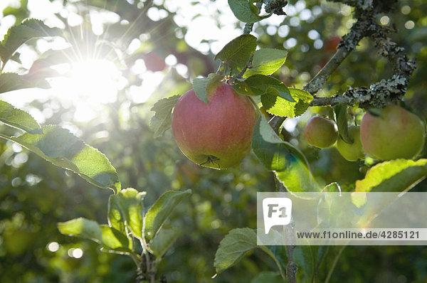 Äpfel in der Morgensonne