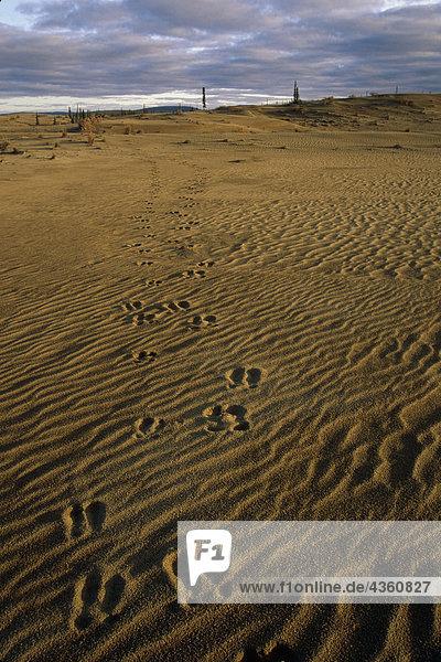 Caribou tracks in the Great Kobuk Sand Dunes Kobuk Valley National Park Arctic Alaska Autumn
