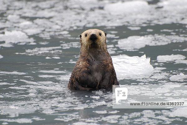 Sea Otter unter einer Eisscholle in Prince William Sound  Alaska