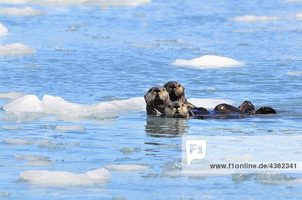 Sea Otters amongst an ice floe in Prince William Sound  Alaska