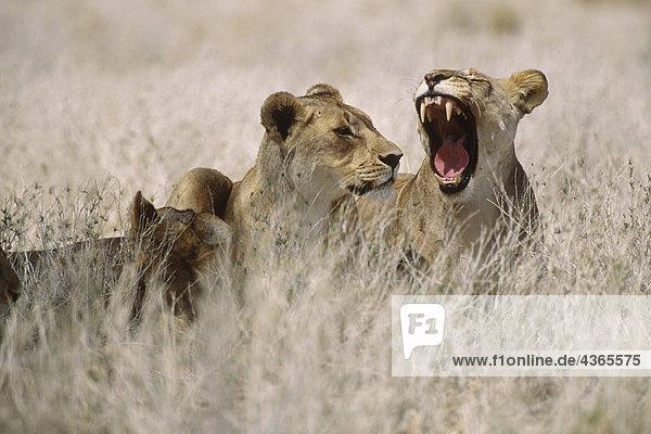 Drei Sitzen im Gras Afrika Löwen