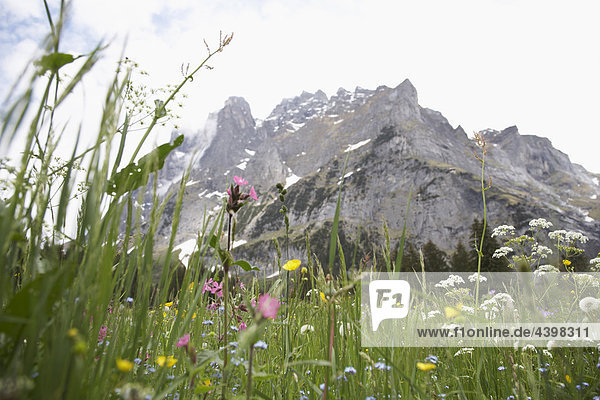 flowers on meadow in the Swiss mountains near Grindelwald