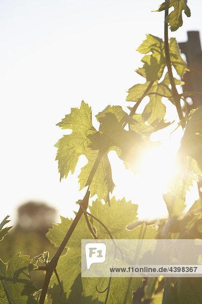 Vine leafs Weinberg in der Nähe von Saint Tropez in Frankreich Vine leafs Weinberg in der Nähe von Saint Tropez in Frankreich