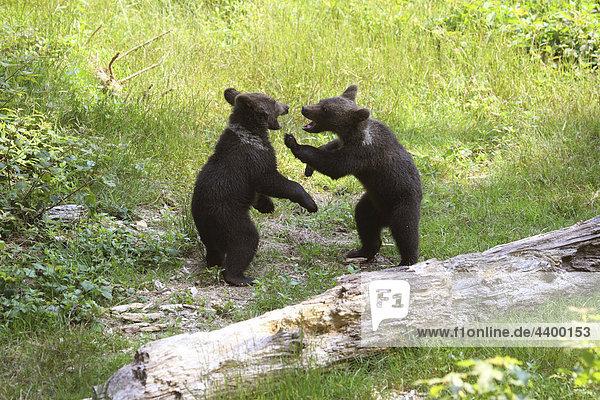 zwei junge Braunbären - spielend zwei junge Braunbären - spielend