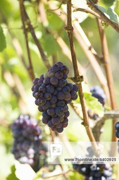 Pinot Noir Trauben auf die Weinrebe  Neuseeland