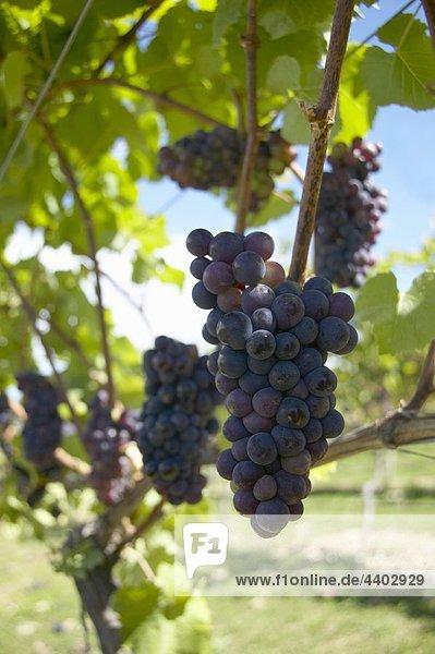 Pinot Noir Trauben  Neuseeland