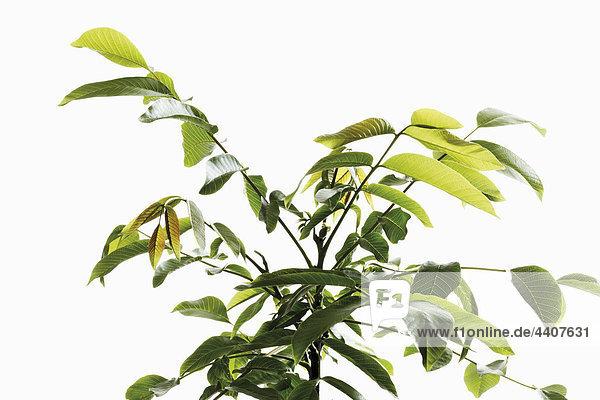 Nussbaumblätter auf weißem Grund