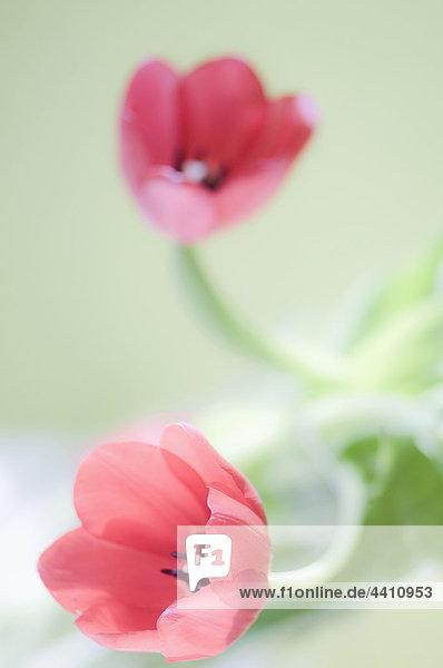 Nahaufnahme der Tulpenblüte