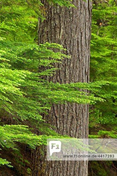 Forest along Bear Creek Falls Trail  Glacier National Park  British Columbia  Canada