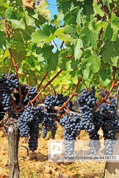 France  Gironde  Saint-Emilion  Bordeaux vineyards  red wine grapes