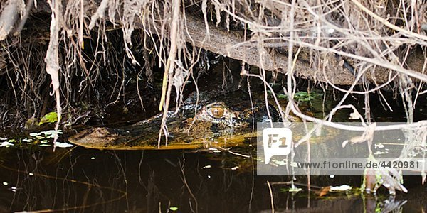Caiman in water