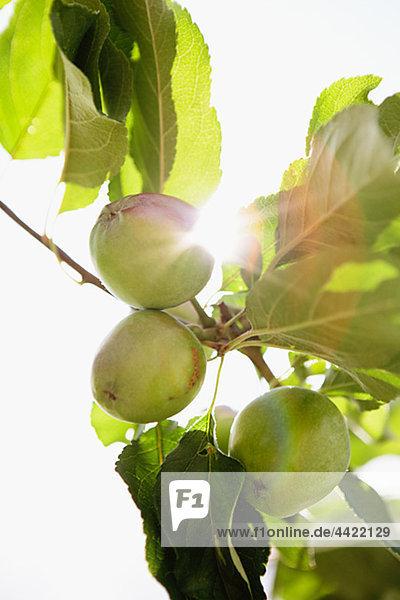 Apple wachsenden auf Baum  Nahaufnahme