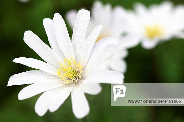 Early Flowering Apennine White Anemones  Beautiful Daisy-like Spring Flowers