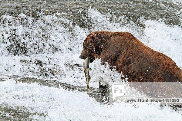 Alaska   Katmai National Park and Preserve   McNeil River Bear Viewing and Wildlife Sanctuary   falls of the Mc Neil river   Grizzly bear Ursus arctos horribilis   chum salmon Oncorhynchus keta   family : ursidae   order : carnivora
